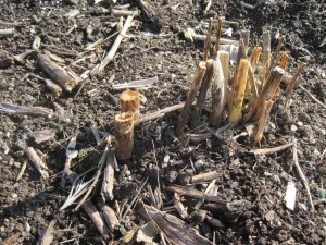 Fall asparagus