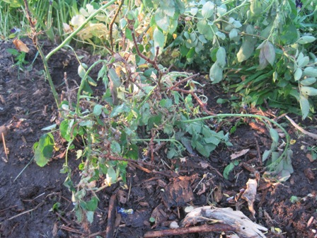 One sorry rose bush