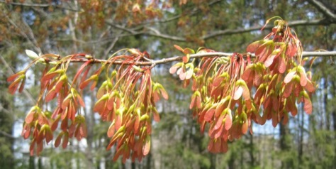 Maple seeds on the tree in Grandma and Grandpa's yard