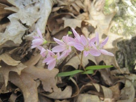 Spring Beauties April 21