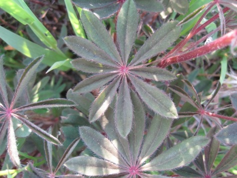 Lupine leaves May 13