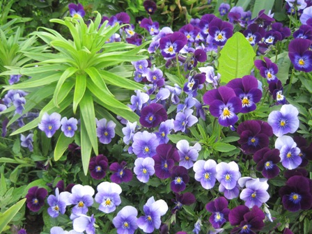 Violas surround a lily