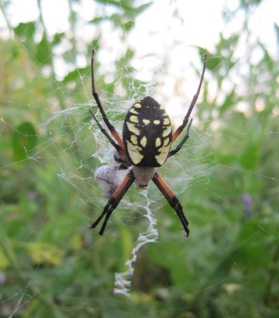Garden spider, August 14