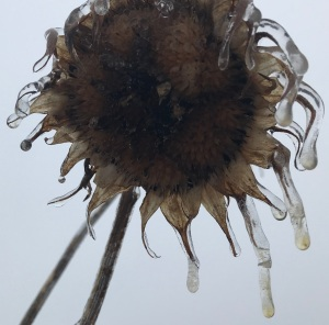 Sunflower in ice 20 Feb 2018